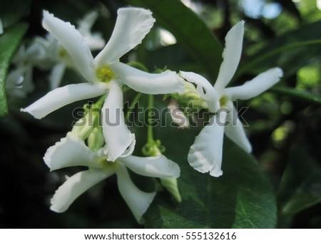 Macro photo white fragrant flowers evergreen stock photo royalty macro photo with white fragrant flowers evergreen vine hanging plant bush of jasmine as the source mightylinksfo