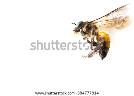 macro photograph of a bee on white - stock photo