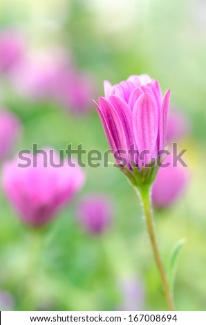 "Macro photograph of a typical coastal wildflower area called ""cat's claw"""