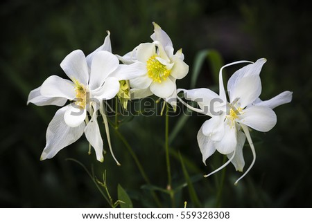 Macro photograph of three wild white columbine flowers (Ranunculaceae Thalictroideae aquilegia)