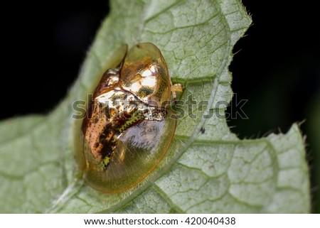 Macro Photography - Golden tortoise beetle - stock photo