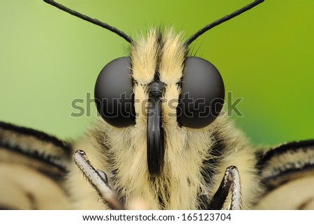 Macro photography of butterfly. Big black eyes. Extreme sharp portrait. Isolated on green bacground. - stock photo