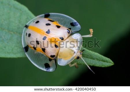 Macro Photography - Transparent Yellow ladybird - stock photo