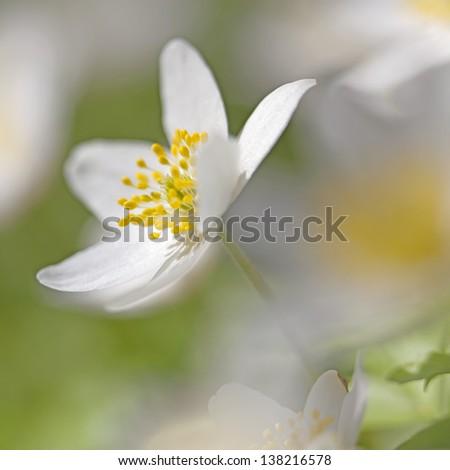 Macro picture of a Anemone Nemorosa - shallow DOF - stock photo