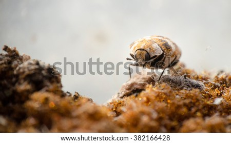 Macro picture of a varied carpet beetle walking on a old sponge - stock photo