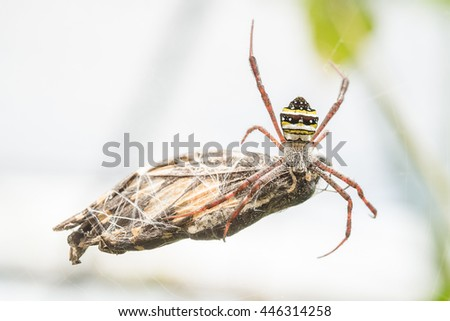 Macro Picture of a wasp spider in its net with a butterfly as prey - stock photo