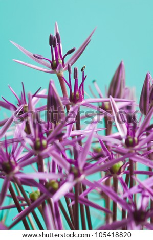 Macro picture of an Allium Christophii with a light blue background - stock photo