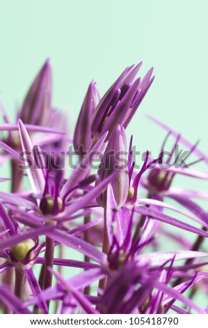 Macro picture of an Allium Christophii with a light green background - stock photo