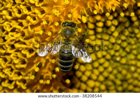 Macro picture of bee working on a sunflower - stock photo