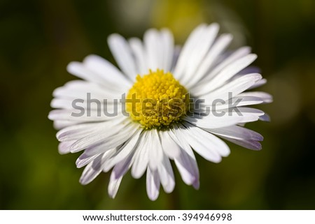 macro pollen of a daisy in the meadow - stock photo