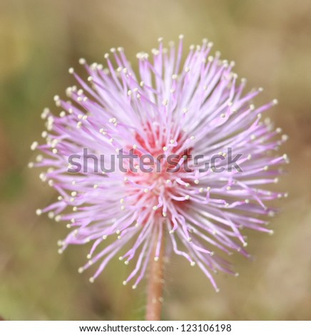 macro pollen of pink flower ,sensitive plant, mimosa - stock photo