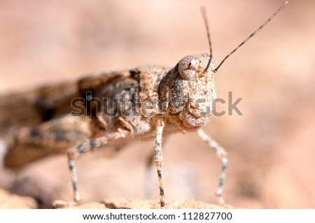 Macro portrait of a big  grasshopper sitting on a rock