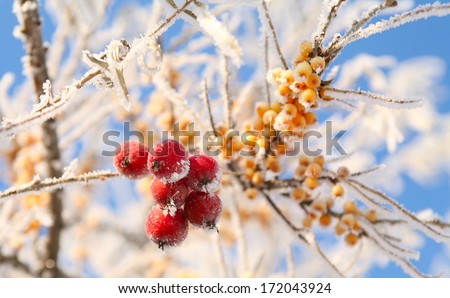 macro rowan berries and of sea buckthorn on branches covered with hoarfrost against the blue sky clear winter day - stock photo