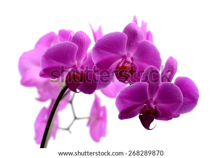 Macro shot branch of pink orchid on white background