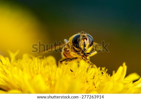 Macro shot of a bee on a flower dandelion - stock photo