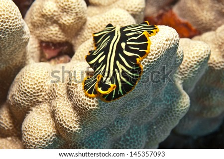 Macro shot of a black and yellow flatworm which  keeps a close profile to the coral upon which it is crawling.  It exhibits the characteristic flat unsegmented body with a simple head end.