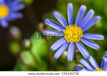 macro shot of a blue marguerite (Felicia amelloides) - stock photo