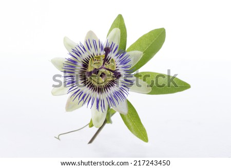 macro shot of a blue passion flower  - stock photo
