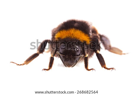 Macro shot of a bumblebee isolated over white - stock photo