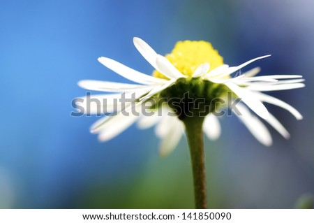 Macro Shot of a Daisy flower, Bellis Perennis - stock photo