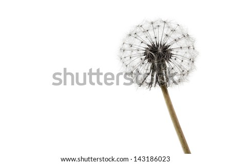 macro shot of a fragile and fluffy dandelion intact