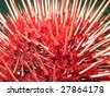 Macro shot of a Giant Red Sea Urchin.  Found in the water's of the Pacific north-west. - stock photo