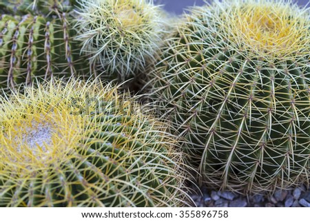 Macro shot of a Golden Barrel cactus (Echinocactus grunsonii) showing the golden spines against the green skin. - stock photo