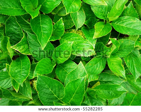 Macro shot of a  lushly green leaves of an hortensia plant