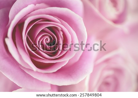 Macro shot of a pink rose (Shallow DOF) - stock photo