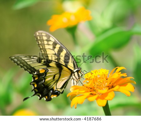 Macro shot of a swallowtail butterfly on a bright flower - stock photo