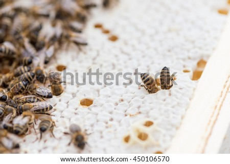 Macro shot of a two working bees on honeycomb. Trying to reach the honey.  - stock photo