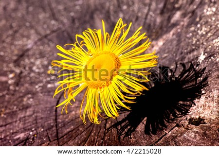 Macro shot of a yellow blossom on a wooden background