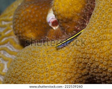 Macro shot of a Yellownose Goby alighted on Star Coral