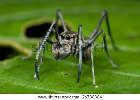 Macro shot of an ant mimic jumping spider