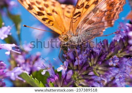 Macro shot of an orange butterfly on blue background. - stock photo