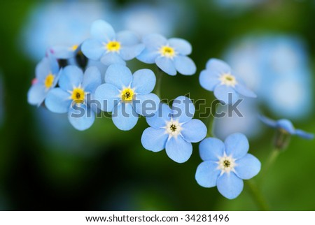 Macro shot of beautiful the little blue forget me not flowers. - stock photo