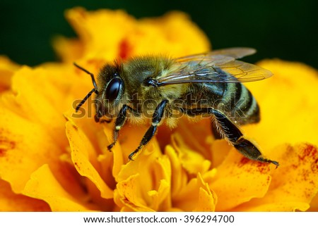Macro shot of bee collecting pollen