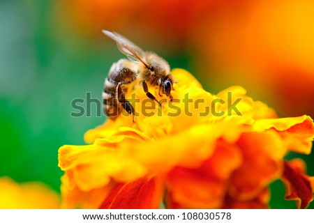 Macro shot of bee collecting pollen from calendula flower in nature