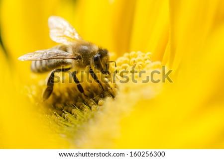 Macro shot of bee on a yellow flower. Shallow dof. - stock photo