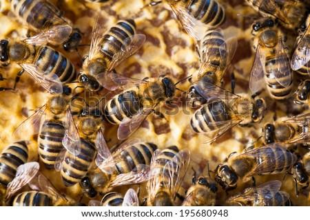 Macro shot of bees swarming on a honeycomb - stock photo