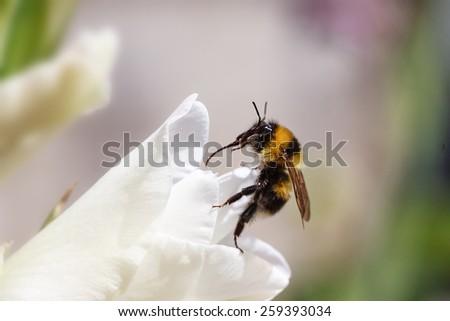 macro shot of black yellow bee on flower - stock photo