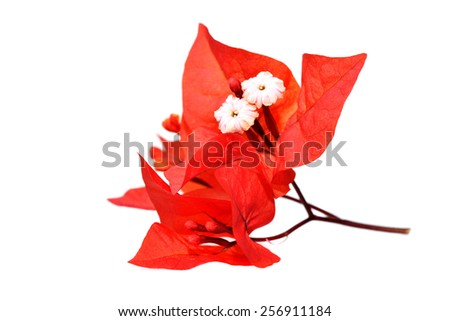 Macro shot of blood red bougainvillea flowers on a white background  - stock photo