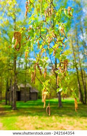 macro shot of blooming spring birch - stock photo