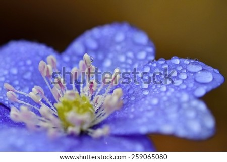 Macro shot of blue flowers with dew drops. Spring nature background. (Blue anemone) - stock photo