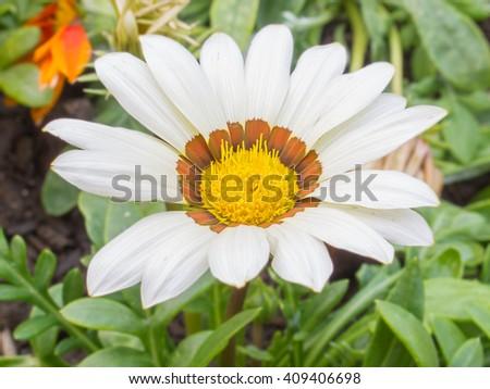 Macro shot of daisy flower in park against grass background.