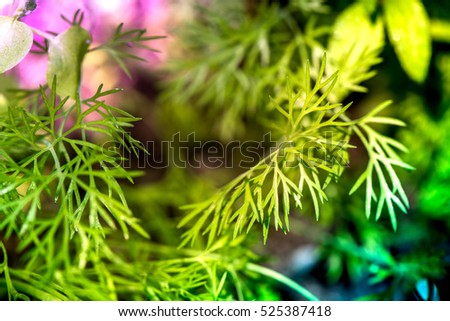 Macro shot of dill plants in a greenhouse on a sunny summer day on a colorful, bright and vibrant background