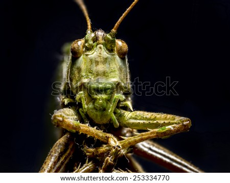 Macro shot of grasshopper on black background - stock photo