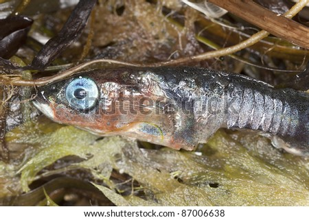 Macro shot of half eaten 	Dead stickleback
