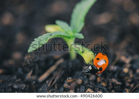 Macro shot of lady bug on tiny cannabis sprout