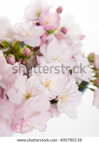 Macro Shot of Light Pink Cherry Blossoms on White Background